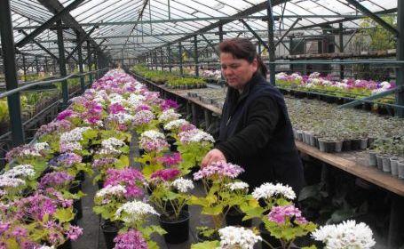 Cultura Florilor In Sere Flori Si Plante Sfaturi Cultivare